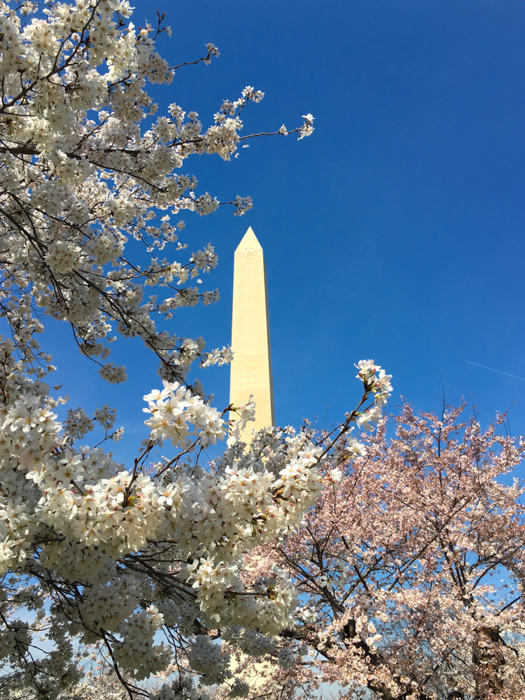 Cherry Blossoms, Washington DC, March 2016