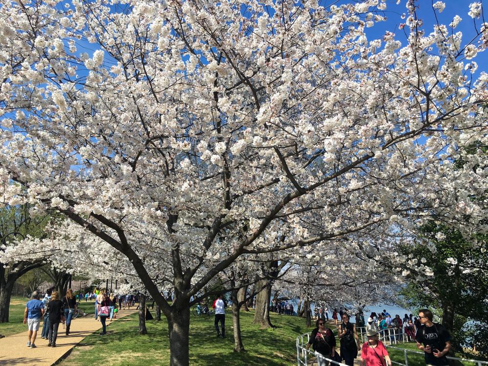 Cherry Blossoms, Washington DC, March 2016